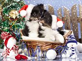 christmas puppies Sheltie wearing a santa hat