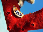 foto of pyjama  - A pyjama chromodoris nudibranch  - JPG