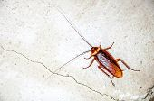 picture of cockroach  - Close up a cockroach on the wall - JPG