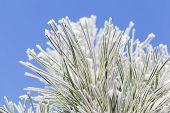 Frosty Pine Leaf