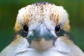 stock photo of kookaburra  - Close - JPG