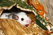 stock photo of field mouse  - mouse welcome us with curiosity at the shelter of his house  - JPG