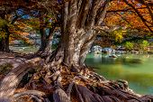 Giant Bald Cypress Trees with Bright Fall Foliage and Gnarly Roots