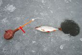 On The Line Roach Hanging From Her Lips Sticking Hook And Bloodworm Seen, This Winter Fishing