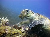 stock photo of hawksbill turtle  - A hawksbill sea turtle  - JPG