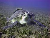 Green turtle portrait