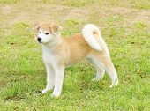 picture of akita-inu  - A profile view of a young beautiful white and red Akita Inu puppy dog standing on the lawn - JPG