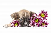 Chihuahua puppy lying down with colorful flowers