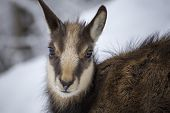 young alps chamois