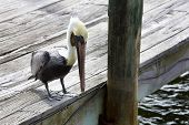 Brown Pelican on the Dock