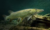 image of musky  - Underwater photo of a big Pike  - JPG