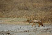 stock photo of jackal  - Wild slinking jackal Ngorongoro crater Tanzania Africa - JPG