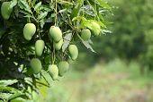 Fresh Mango On Tree