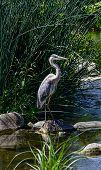 Blue Egret At Los Angeles River