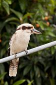picture of kookaburra  - Laughing Kookaburra perched on a Hills Hoist - JPG