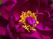 Crimson Flower Bloom with Yellow Stamen. Super Close-up Macro.