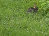 stock photo of wild-rabbit  - Wild Rabbit in Grass. Suspense and Intrigue.