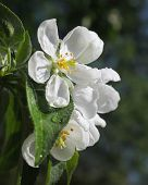 Flowers of an Apple-tree