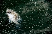 Dead Fis On Waste Water