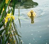 stock photo of baby goose  - a baby canadian goose  - JPG