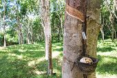 image of sag  - Milky latex extracted from rubber tree  - JPG
