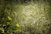 Dandelions In The Pinewood Forest Near Marina Romea