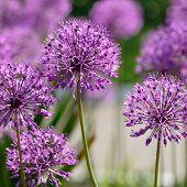Giant Purple Onion Flowers Closeup