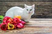 White angora cat and tulip