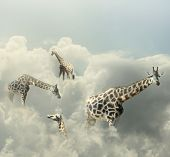 stock photo of surrealism  - Surreal image representing four giraffe walking in the clouds - JPG