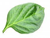 Wry Green Leaf Of Pepper