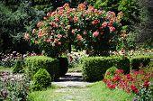 Rose Flower Gardening