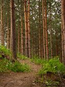 Постер, плакат: Mountain bike trail in a pine forest