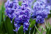 Blue Flowers Of Hyacinth
