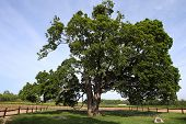 the comfort maple tree, said to be 530 yrs old, the oldest sugar maple tree in Canada