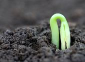 Newly Born Seedling Of Green Momordica