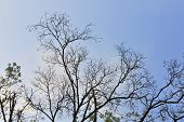 Leafless Branches Isolated On Blue Sky