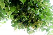 picture of lime-blossom  - linden tree flowers blossoming on the branch - JPG
