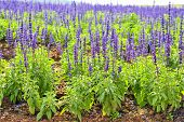 picture of blue-salvia  - blue salvia - JPG