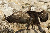 Cormorant bird