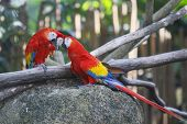 Scarlet Macaw birds couple