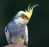 Close-up view of a Cockatiel