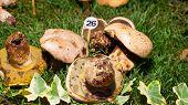 Mushroom Boletus Radicans