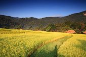 Ripe Terraced Rice Field, Chiang Mai