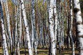 White Slim Birch Trees In Early Spring