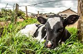 stock photo of calves  - A young Jersey calf lying in the long grass next to a wooden post of a wire fence - JPG