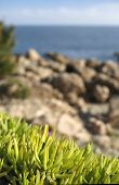 Succulents by the sea