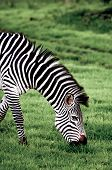 Portrait Of A Grazing Zebra