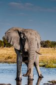 pic of sub-saharan  - An Elephant bull standing alone in some water where he was taking a drink with his trunk the tip of which is still wet - JPG