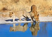 Two lions at a waterhole