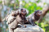 The Common Marmoset (callithrix Jacchus) White-eared Monkey Family: Male And Female With Baby
